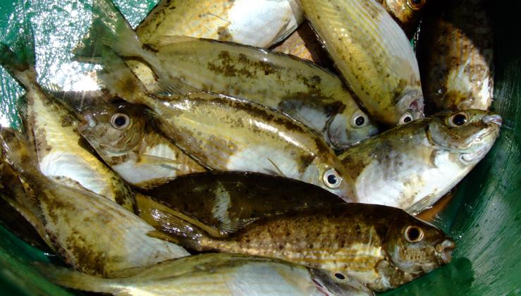 Την περασμένη εβδομάδα μας έχουν γίνει αναφορές από ερασιτέχνες ψαράδες ότι μετά από κατανάλωση κουρκούνων είχαν έντονες στομαχικές διαταραχές.